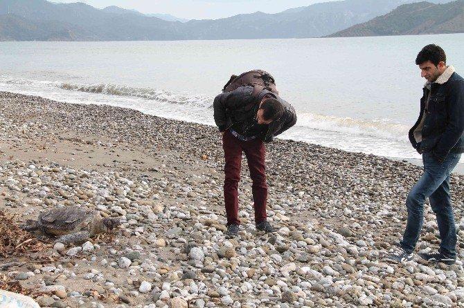 Fethiye Sahiline Ölü Caretta Vurdu