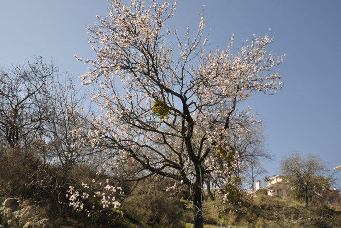 Amasya'da badem ağaçları çiçek açtı