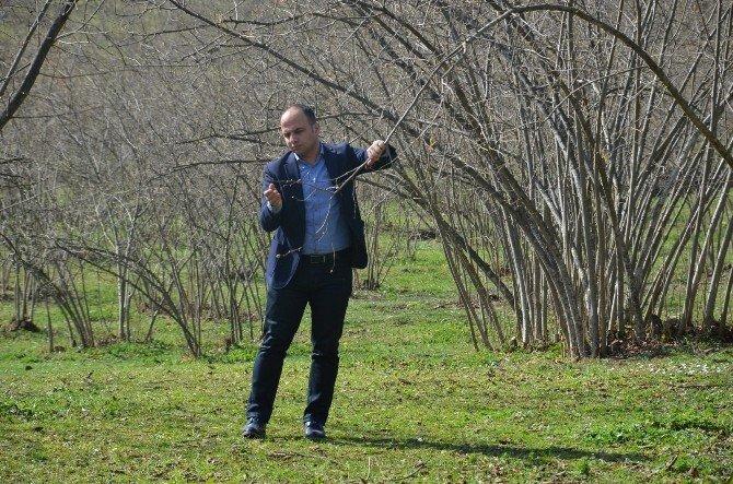 Fındık Ağaçları Karanfil Açmaya Başladı