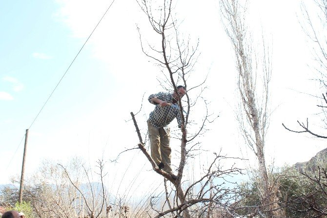 Sarıcakaya'da Menengiç Ağaçlarına Antep Fıstığı Aşısı