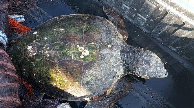 Samandağ Sahilinde Yaralı Deniz Kaplumbağası Bulundu