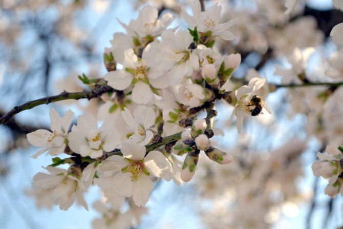 Ağaçlar çiçek açtı, arılar iş başı yaptı