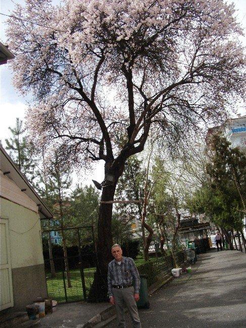 70 Yıllık Badem Yalancı Baharda Çiçek Açtı
