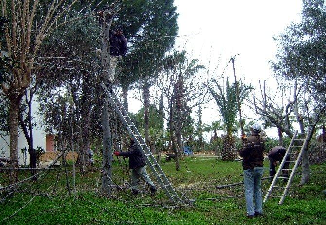 Aydın'da Budamalar Tamalanıyor