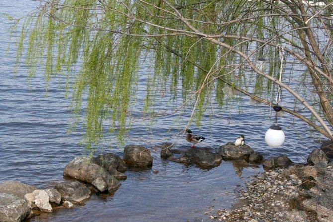 Sapanca Gölü'nde yaşayan kuşlar avcıların tehdidi altında