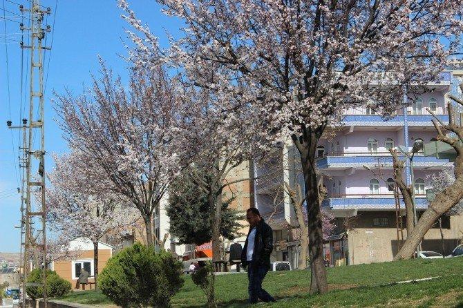 Şanlıurfa'da Ağaçlar Çiçek Açtı