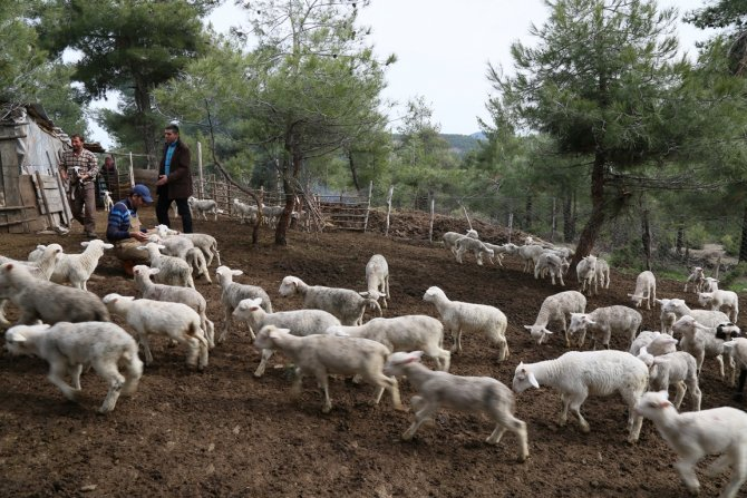 Büyükorhan'da koyun-keçi desteği tespit çalışmaları sürüyor