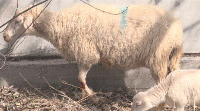 Kazada Bacağı Kırılan Koyundan Annelik Dersi