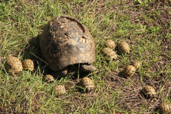 Kaplumbağalar doğal ortamına bırakıldı