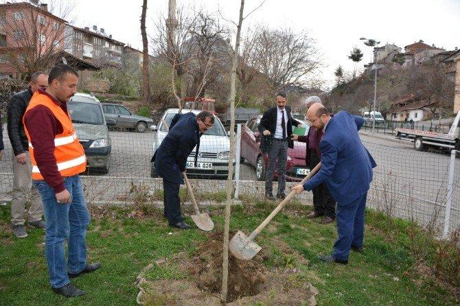 Danişmentliler'in Başkenti Çınar Ağaçlarıyla Donatılıyor