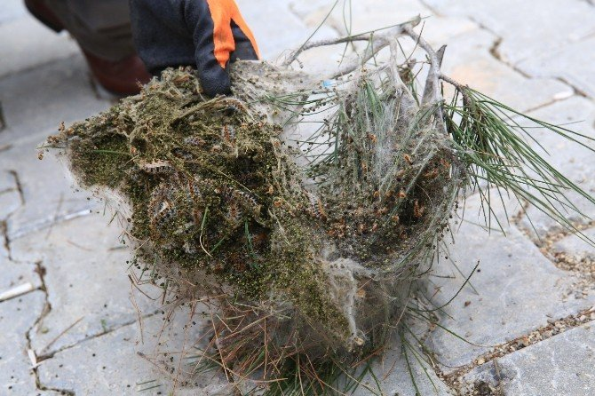 Buca'da Çam Kese Böceği İle Mücadele Başladı