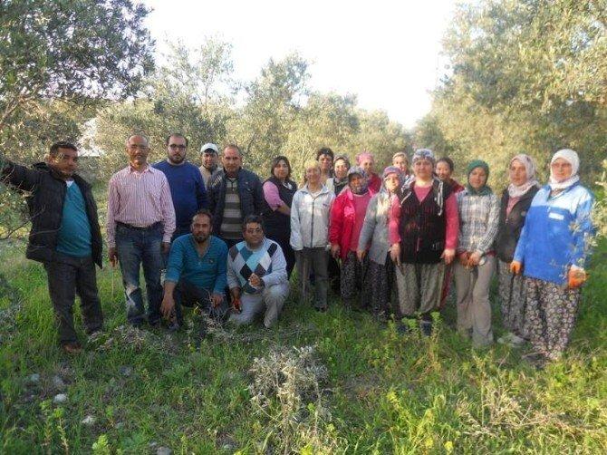 Dalaman'da Zeytin Budama Kursu Başladı