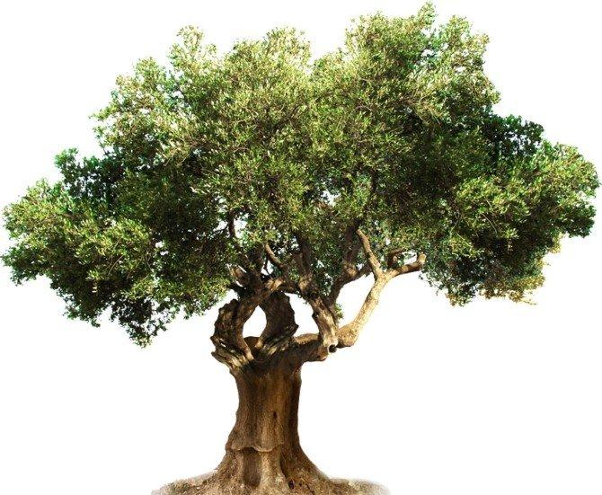 Nizip Organik Zeytini Ve Zeytinyağı Dünya Pazarlarına Girecek