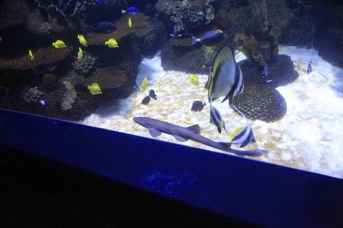 Yavru Köpekbalığı Nihayet Akvaryumda