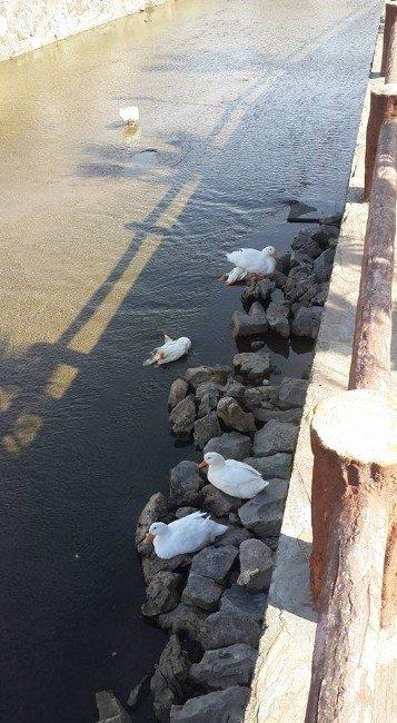 Kuşadası'nda Ördek Tartışması