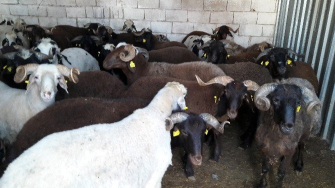 Hatay'da 4 Tır Kaçak Hayvan Ele Geçirildi
