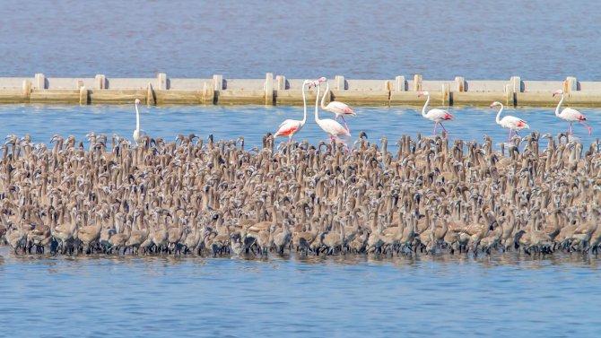 Türkiye'nin ilk suni adasında 7 bin flamingo yumurtadan çıktı