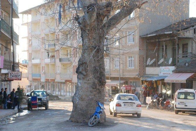 Yol Ortasında Kalan Anıt Çınar Ağacı