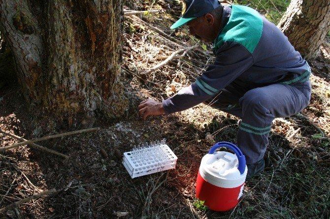 Orman Ve Su İşleri Bakanlığı Ormanları Zararlı Böceklerden Avcı Böceklerle Koruyor