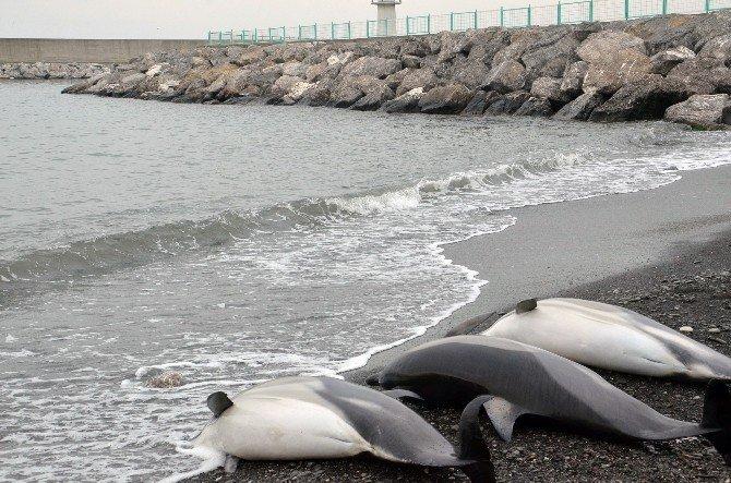 Zonguldak'ta Yunus Balıkları Karaya Vurdu