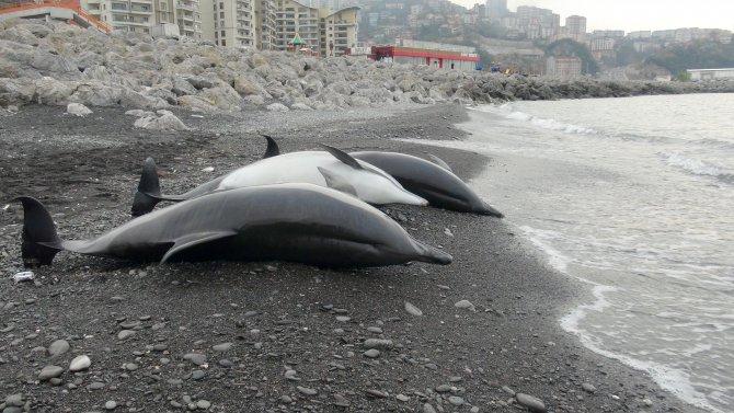 Zonguldak'ta 3 adet yunus balığı, sahile vurdu