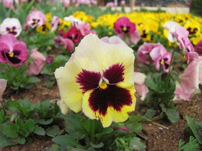 Araban Çiçeklerle Bezendi