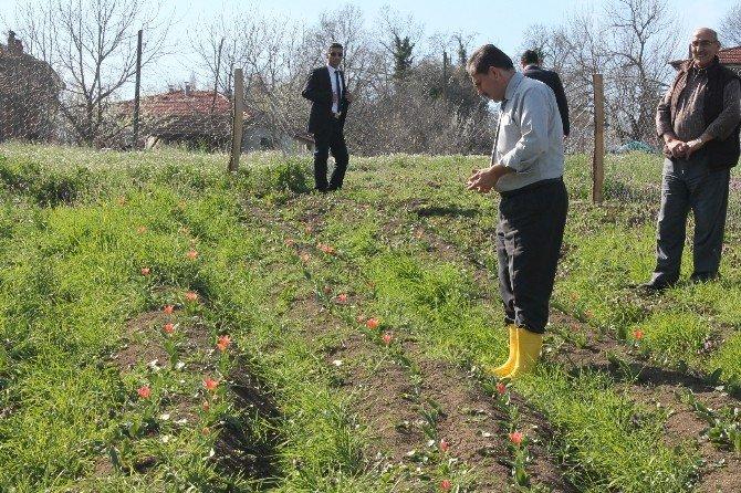 Bartın'da 2 Çiftçi Lale Soğanı Yetiştirmeye Başladı