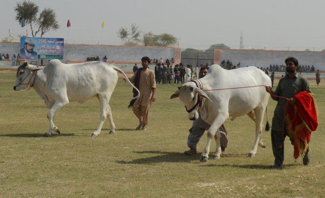 Pakistan'da 5 asırlık festivale güç gösterileri damgasını vurdu