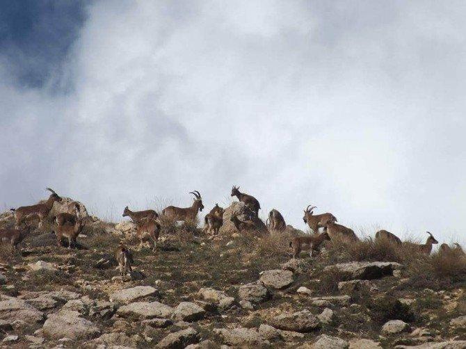 Yabani Keçi Popülasyonu Artıyor