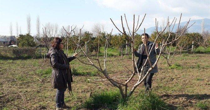 Aydın'da Şeftali Bahçelerinde Hastalık Ve Zararlı Kontrolleri Sürüyor