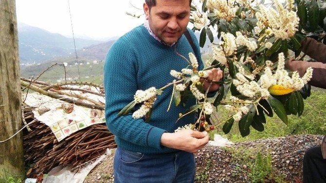 Giresun'da Karayemiş Kış Ortasında Meyve Verdi