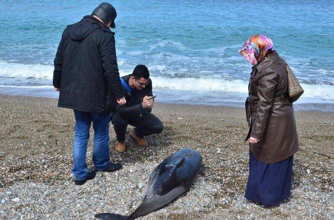 Kafası Olmayan Yunus Balığı Karaya Vurdu