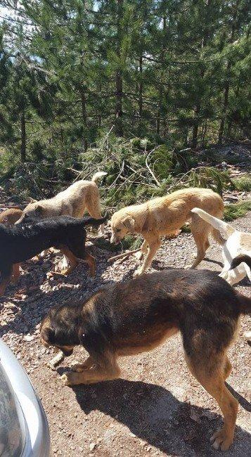 Başıboş Köpekler Yoldan Geçen Araçlardan Yiyecek Bekliyor