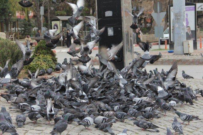 Haftalık Alınca Güvercinleri Besliyor