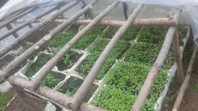Jandarma serada bin 600 kök kenevir bitkisi ele geçirdi