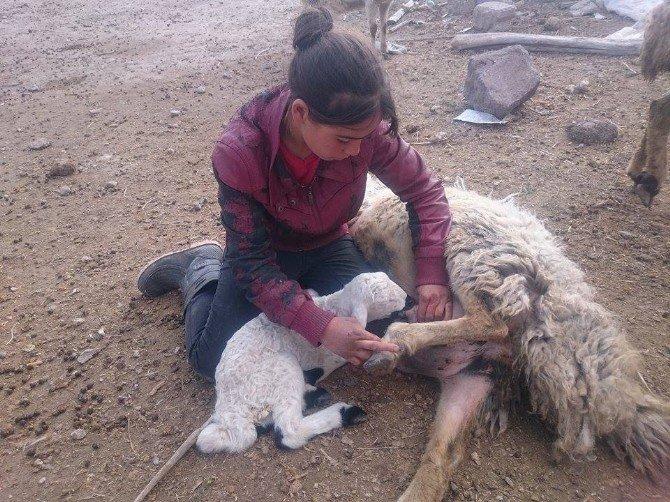 Yanlış İğne 200 Kuzuyu Telef Etti İddiası