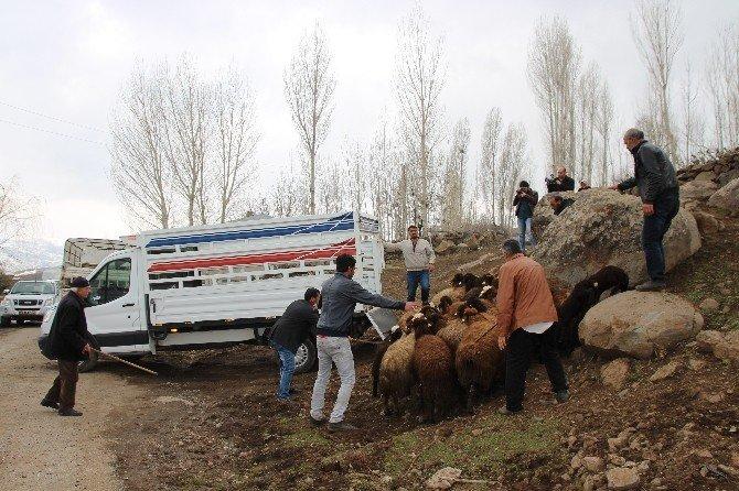 Varto'da Koyun Dağıtımı