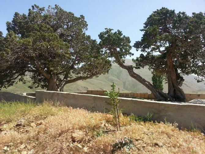 Ardıç Ağaçları, 'Anıt Ağaç' Olarak Tescillendi