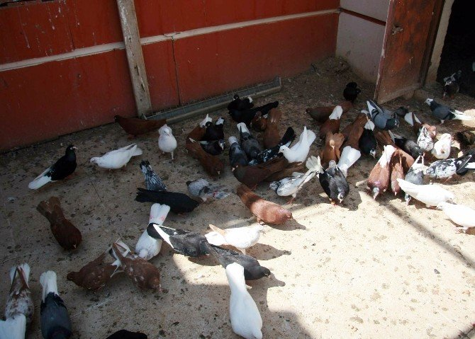 Beslediği Güvercinlerine 3 Katlı Villasını Tahsis Etti