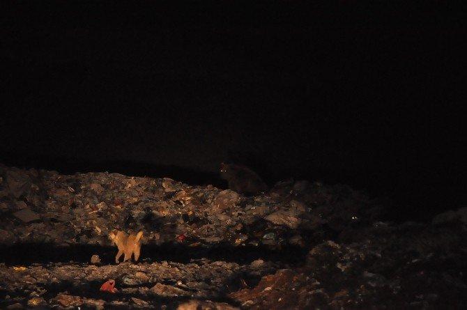 Ayılar Köpeklerle Birlikte Besleniyor