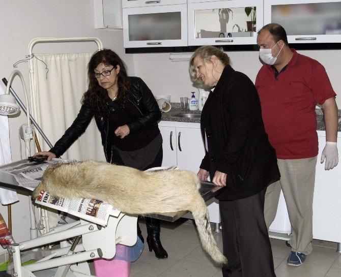 Yaralı Köpeğe Duyarlı Kadın Sahip Çıktı