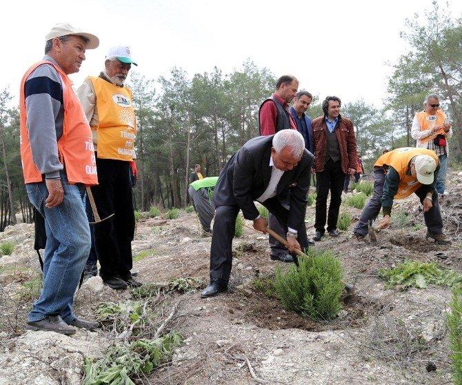 Başkan Tollu, Orman Haftası'nda Fidan Dikti