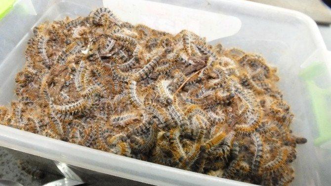 Çam Kese Böcekleri İçin Biyolojik Silah Üretiyorlar