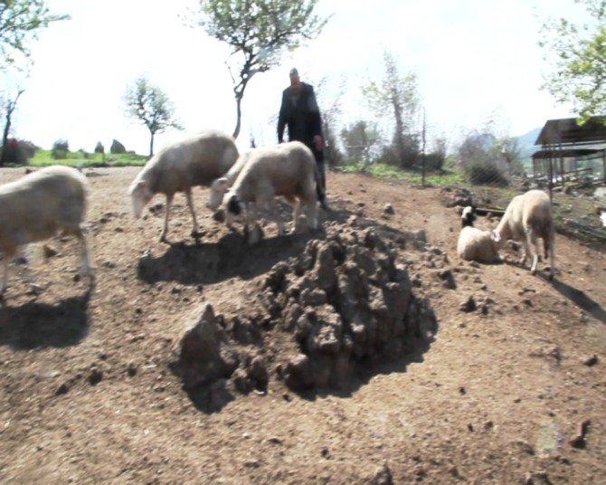 Başı Boş Köpkler Koyun Sürüsünü Telef Etti