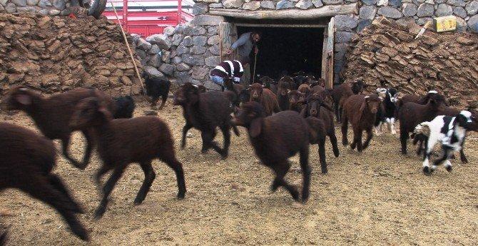 Koyunlarla Kuzuların Buluşma Anı