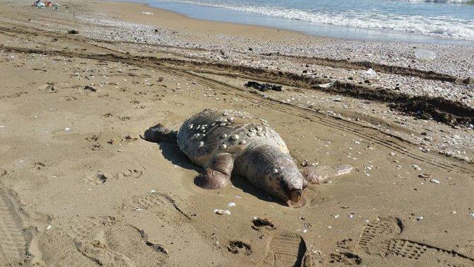Kafasından yara almış caretta caretta sahilde ölü bulundu
