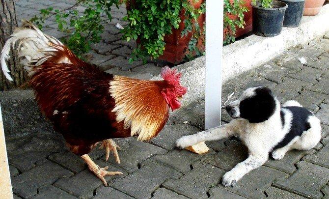 Horozla Köpeğin Ekmek Mücadelesi