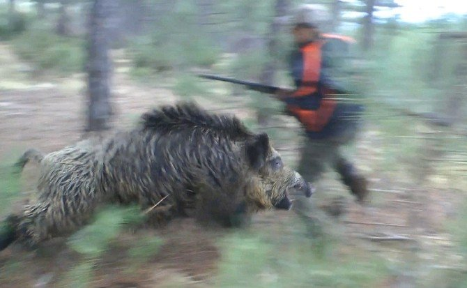 Yaban Domuzu Avcıya İşte Böyle Saldırdı