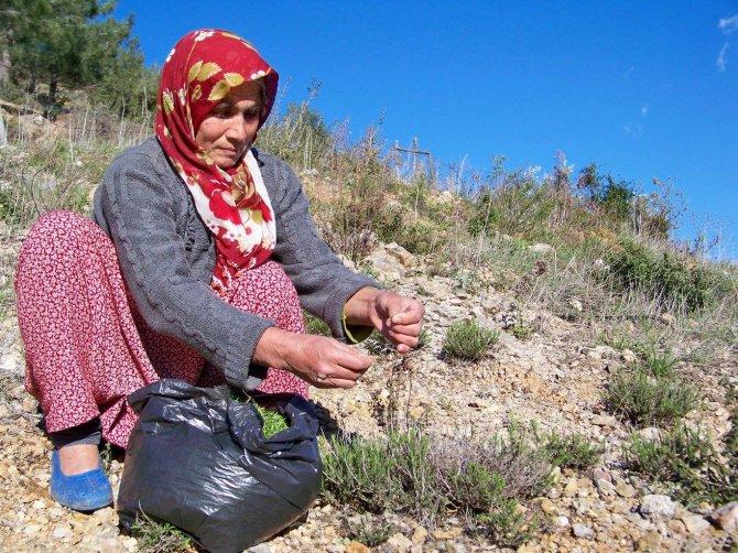 Kadınlar dağlardan burcu burcu kekik topluyor