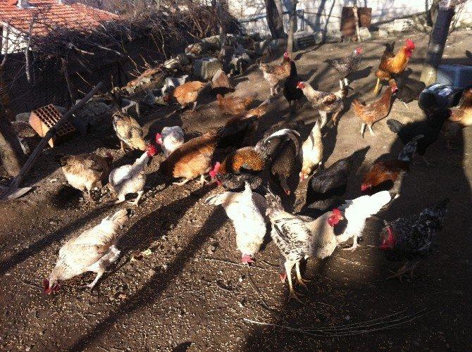 Tavuk Ve Hindiler Ziraat Odası'ndan...